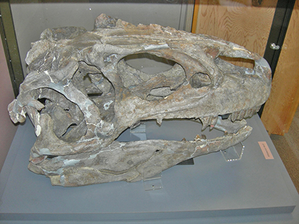 A fossilized Allosaurus skull at Dinosaur National Monument.