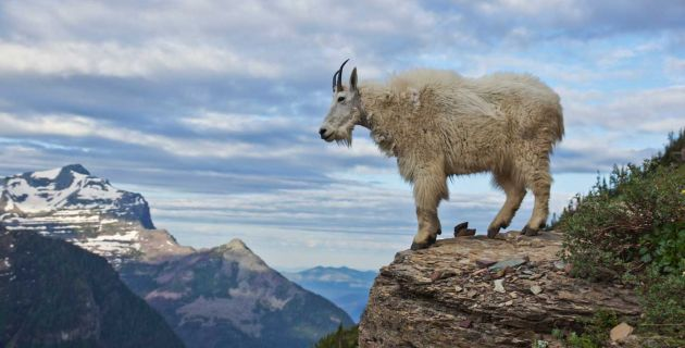 A majestic goat in Glacier National Park.